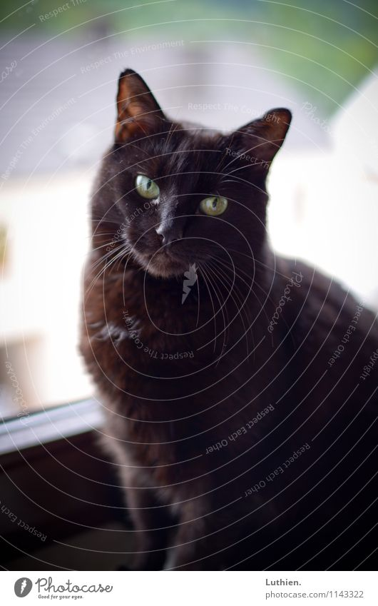 Fensterkatze Katze schön Erholung ruhig Tier schwarz Glück klein Zufriedenheit Häusliches Leben elegant ästhetisch genießen beobachten Freundlichkeit Neugier