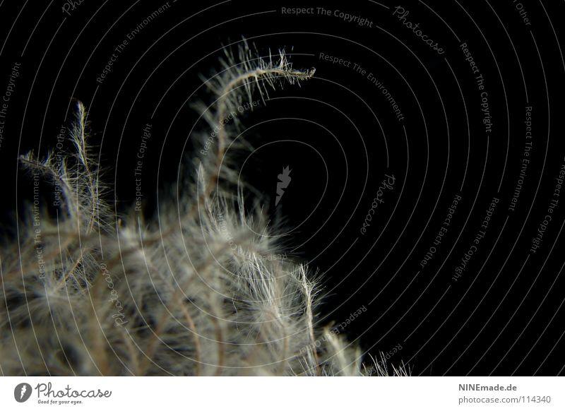 Wuschlisch Winterblume weich zerzaust Watte Knäuel Wollknäuel fein elegant Hintergrundbild schwarz dunkel Beleuchtung weiß grau Härchen Unschärfe