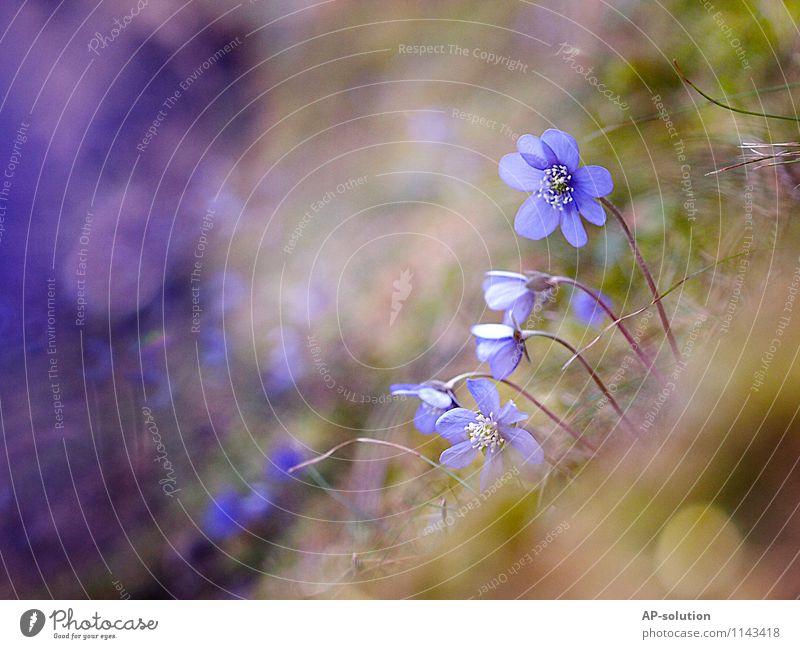 Leberblümchen Natur blau Pflanze grün Erholung Blume Wald gelb Frühling Wiese feminin Gras natürlich Glück Garten Idylle