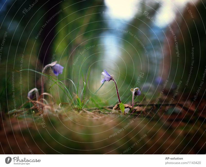 Blumen / Leberblümchen Natur Pflanze grün Wald Wiese Garten Wachstum Erde frisch Blühend violett positiv Moos
