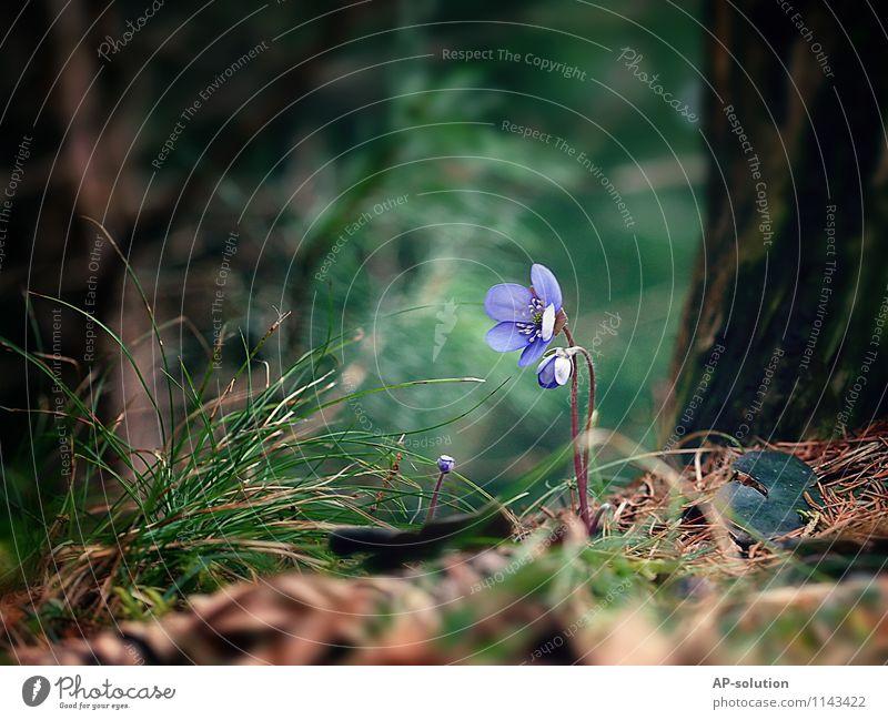 Leberblümchen Natur Pflanze grün Blume Wald Frühling Blüte Gras braun Wachstum frisch Erde Blühend zart violett rein