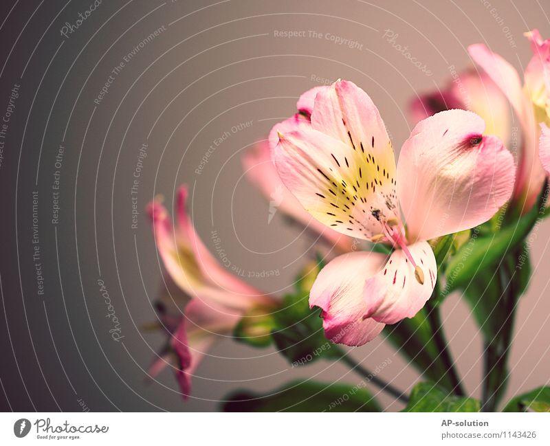 Lilie Pflanze Frühling Blume ästhetisch außergewöhnlich Duft frisch Kitsch schön feminin gelb grau grün rosa weiß Romantik Lilien Liliengewächse Lilienblüte