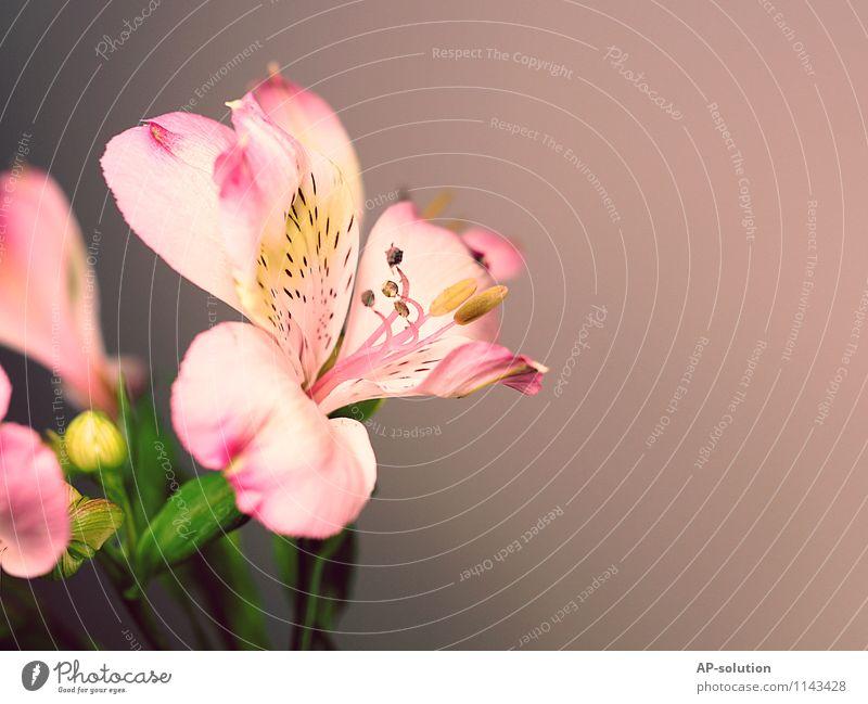 Lilie Pflanze schön weiß - ein lizenzfreies Stock Foto von Photocase