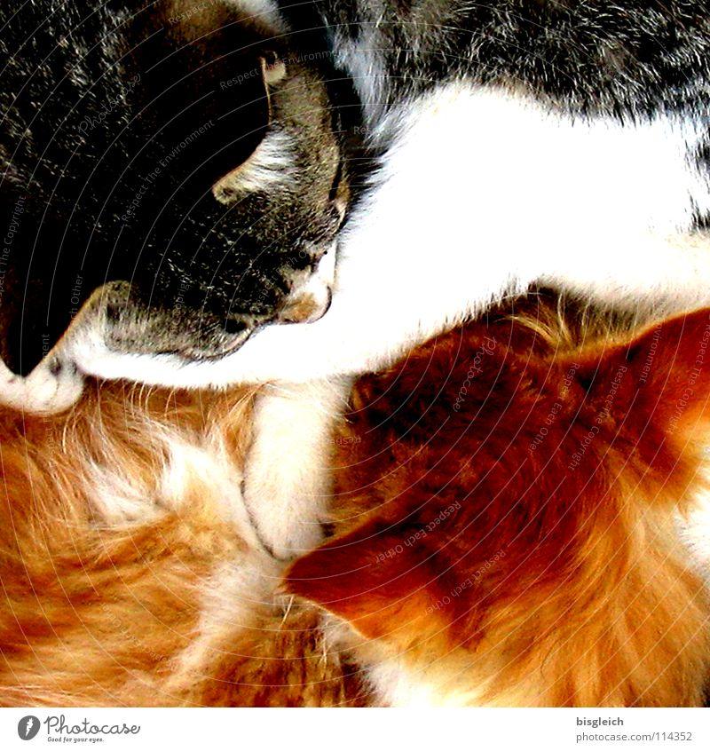 Ying & Yang Farbfoto Detailaufnahme Vogelperspektive Tierporträt ruhig Fell Haustier Katze 2 schlafen weich Geborgenheit Gelassenheit Frieden Schnurren Kuscheln
