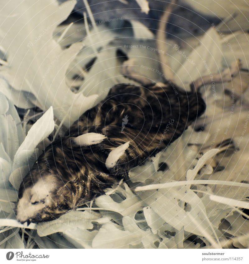 noch eine Maus in IR Natur grün Tier Blatt Wiese Tod Leben Gras Haare & Frisuren klein Beine liegen nass Ernährung Nase niedlich