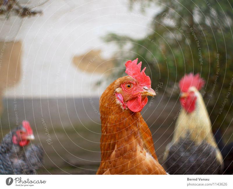 Gack Tier Haustier Nutztier Haushuhn braun grau grün rot Wand Bauernhof Landwirtschaft Ei Hahn Kamm Schnabel 3 Feder Federvieh Gackern Farbfoto Außenaufnahme