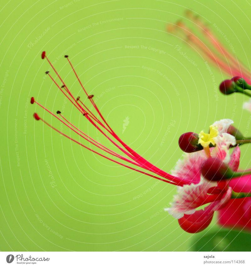 asiatisches blumenbild Natur Blume grün Pflanze Farbe Blüte Frühling rosa weich Asien zart Blühend exotisch Blütenknospen Stempel hellgrün