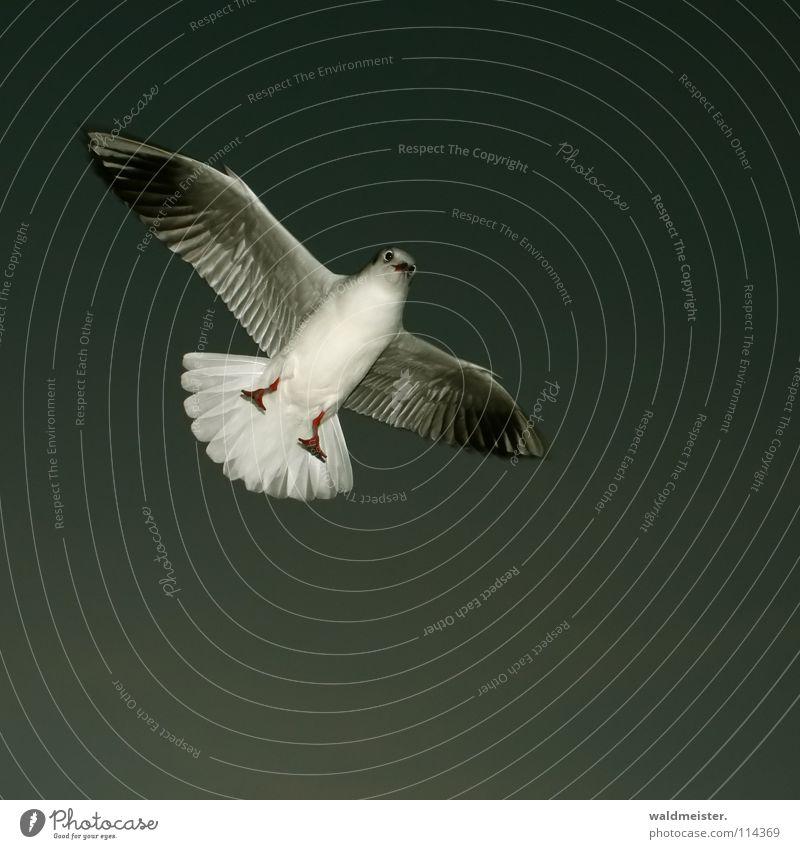 kleine Möwe Lachmöwe Vogel Feder Schnabel Meer Strand Abend dunkel Möve Himmel Luftverkehr fliegen Flügel Fuß