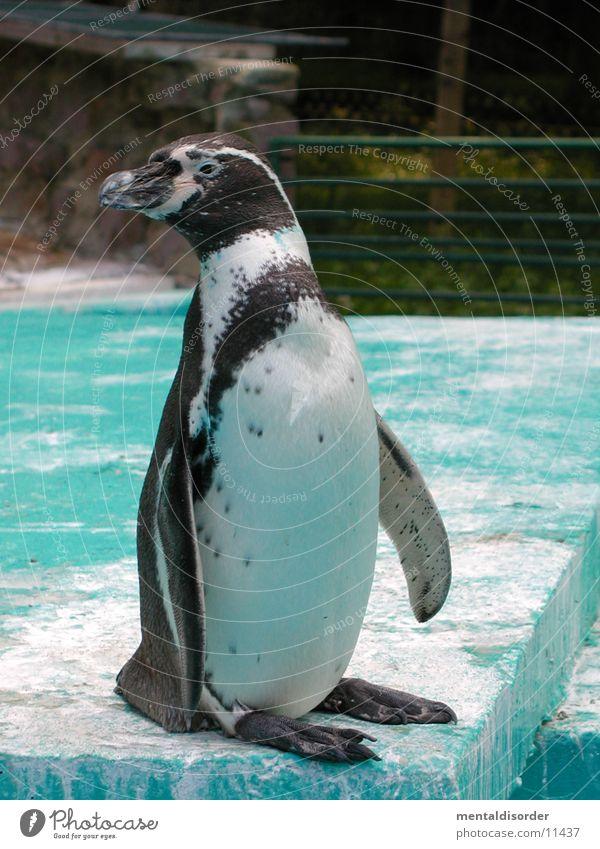 Pinguin *1 Wasser weiß Tier Winter schwarz kalt Stil Eis Zoo Pinguin Nordpol Frack Anzug Bildart & Bildgenre