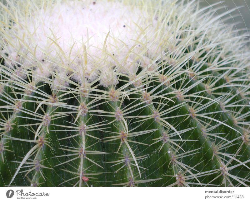 Kaktus weiß grün Pflanze Stachel