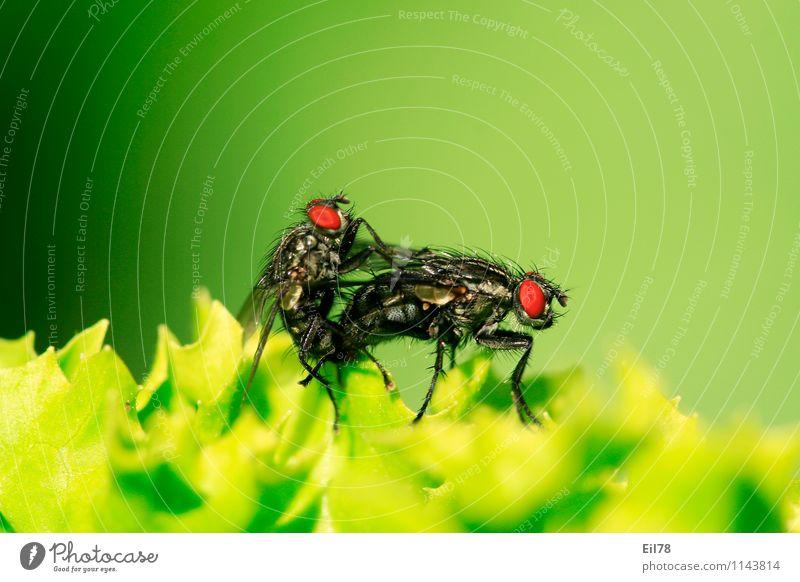 Graue Fleischfliege Fliege 2 Tier Tierpaar Zufriedenheit Lebensfreude Frühlingsgefühle Fortpflanzung Sex grün sarcophaga carnaria Farbfoto Außenaufnahme