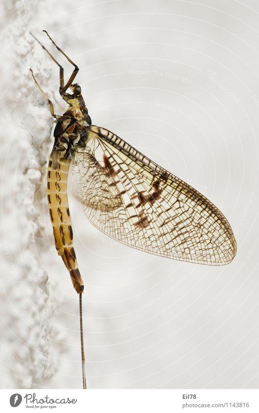 Gemeine Eintagsfliege Fliege Flügel 1 Tier nah ephemera danica Große Eintagsfliege seitwärts Hautflügler Farbfoto Nahaufnahme Detailaufnahme Makroaufnahme