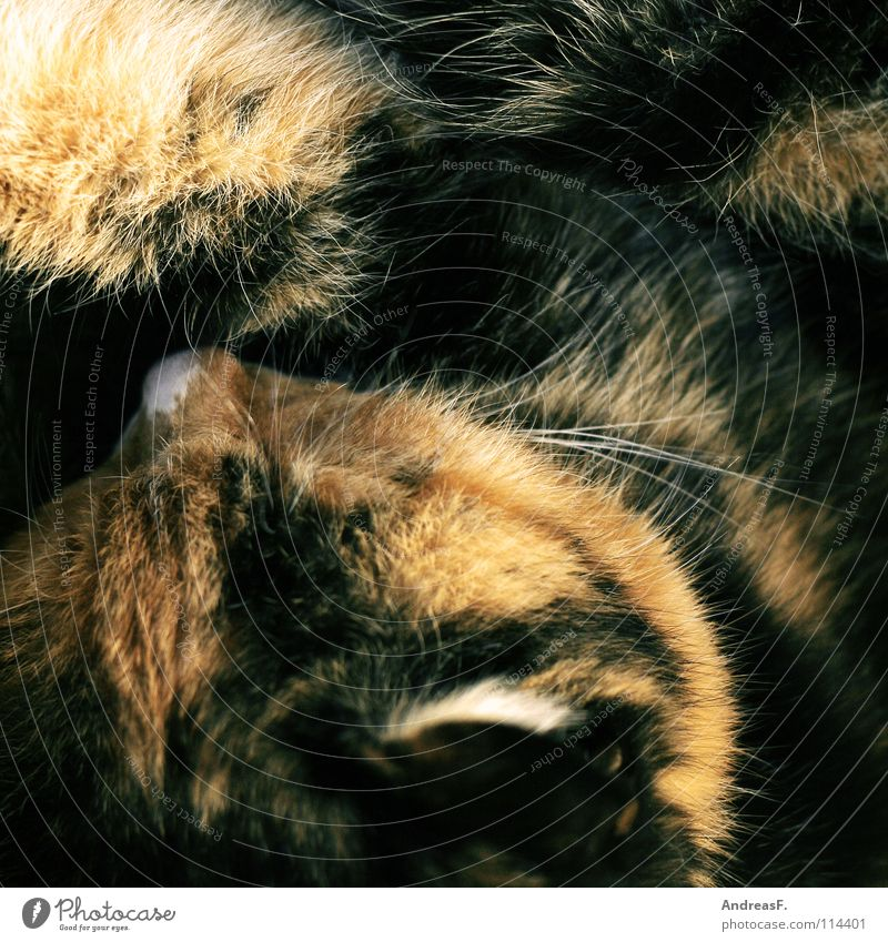 Winterschlaf Katze Haustier Tier Fell dreifarbig Hauskatze schlafen träumen Kuscheln kuschlig Physik Bett kalt frieren Säugetier Sicherheit kätzschen Wärme