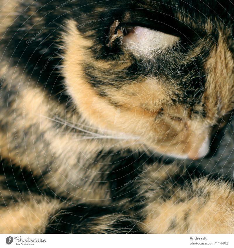 Winterschlaf II Katze Haustier Tier Fell dreifarbig Hauskatze schlafen träumen Kuscheln kuschlig Physik Bett kalt frieren Langeweile Säugetier kätzschen Wärme