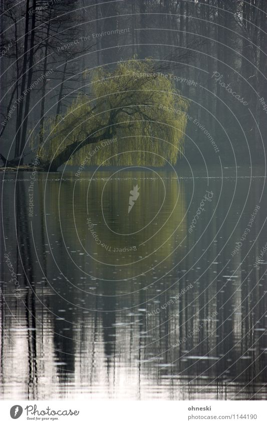 Trauerweide Umwelt Natur Landschaft Frühling Pflanze Baum Weide Seeufer Moor Sumpf Idylle Pause Stimmung Vergänglichkeit Zeit Hücker Moor Farbfoto Außenaufnahme