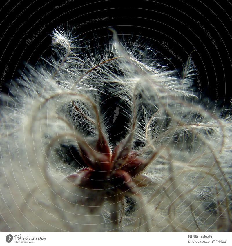 WeihnachtsStern Natur weiß rot schwarz dunkel Haare & Frisuren grau Beleuchtung Hintergrundbild elegant Perspektive Dekoration & Verzierung niedlich Feder weich nah