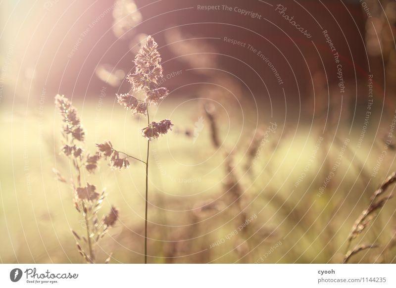 Sommer pur! Natur Pflanze ruhig Wärme Leben Wiese Glück Zeit Freiheit Stimmung braun hell Zufriedenheit Feld leuchten