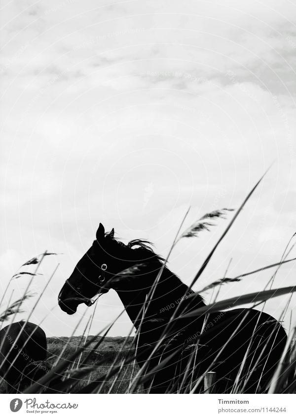 Pferdle. Himmel Natur Ferien & Urlaub & Reisen Pflanze weiß Landschaft Wolken Tier schwarz Umwelt Gefühle natürlich stehen einfach Dänemark