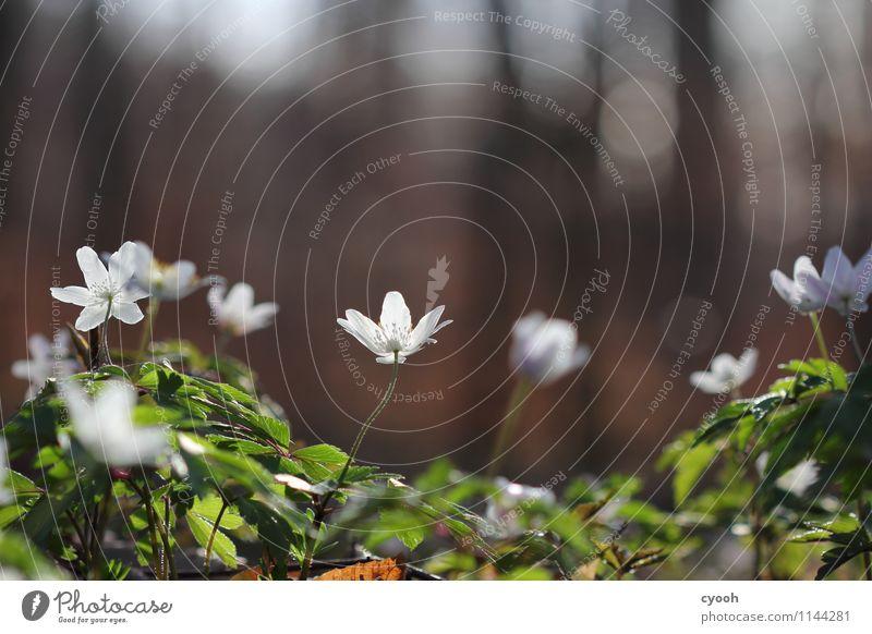 Frühlingsboten Natur Pflanze schön weiß Blume Wald Leben Blüte Zeit hell Zufriedenheit leuchten Wachstum frisch Kraft