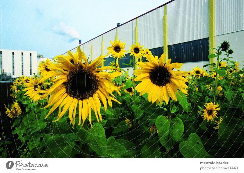Sonnenblumen Blume grün Pflanze gelb