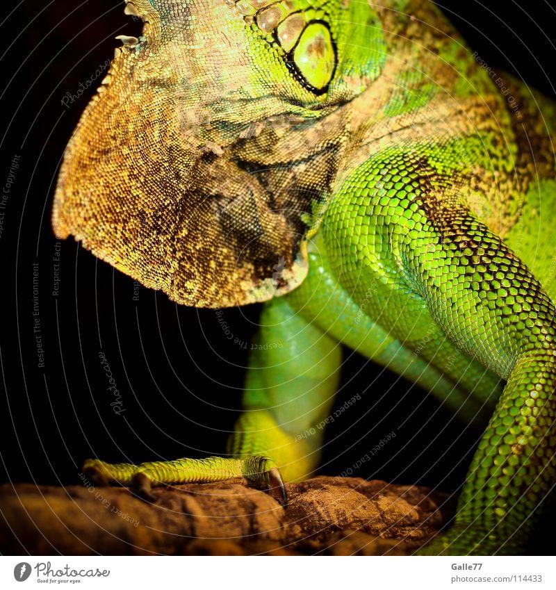 Rocco Leguane Echsen Reptil Tier grün Dinosaurier Terrarium Agamen Körperhaltung Scheune Kehlwamme Detailaufnahme