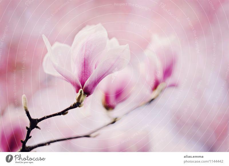 Magnolie Magnoliengewächse Magnolienblüte Blüte Baum rosa Pflanze Frühling schön elegant Natur weich sanft Blühend Blume Blütenknospen April Zweig Garten