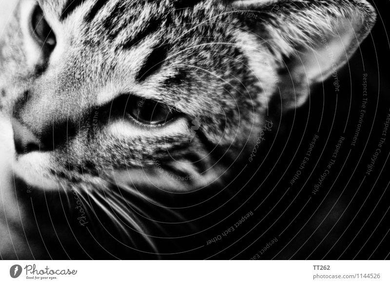 Katzenjammer II Tier Haustier Wildtier 1 Blick schwarz weiß Schwarzweißfoto Textfreiraum rechts Textfreiraum unten