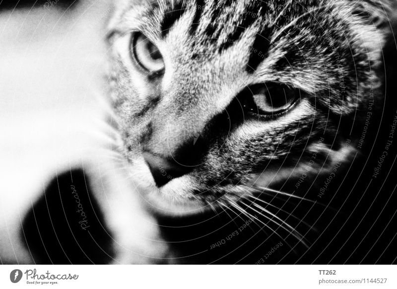 Katzenjammer I Tier Haustier Wildtier 1 Blick Schwarzweißfoto