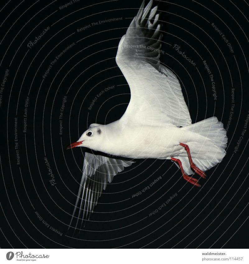 Nachtflug Himmel Meer Strand dunkel Vogel fliegen Luftverkehr Feder Flügel Möwe Nachtaufnahme Tier Lachmöwe
