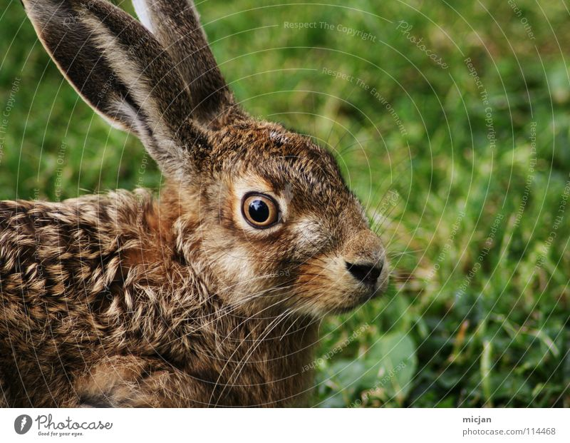Pupsi Hase & Kaninchen Tier Schnauze niedlich Wildtier Fell Pflanzenfresser Angst Wachsamkeit bewegungslos Gras grün braun Blick Ostern Lebewesen Säugetier