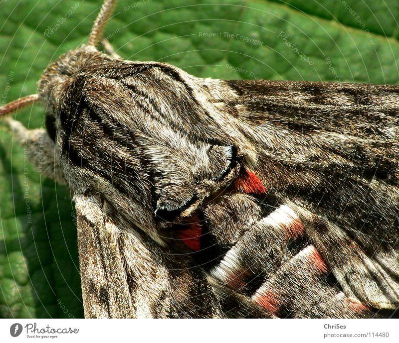 Windenschwärmer_03 (Agrius convolvuli) Schmetterling Fell Insekt Tier Sommer grau braun rot Fühler wandern Motte Tarnfarbe Nordwalde Makroaufnahme Nahaufnahme