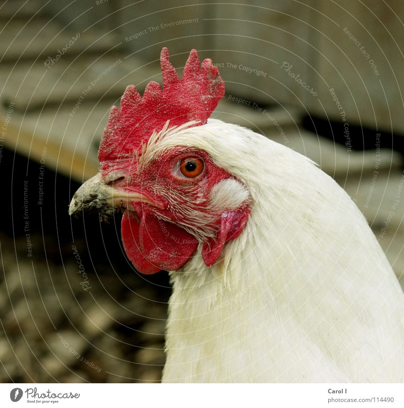 Die Henne weiß rot Auge Vogel Feder Bauernhof Ei Leiter Schnabel Haushuhn Nutztier Hahn Kamm nützlich Tier rockig