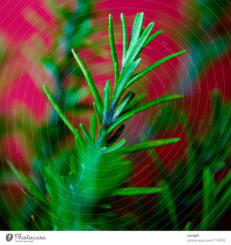 Rosmarin Sträucher Duft Pflanze Kräuter & Gewürze grün Küchenkräuter mediterran Zweig Gesunde Ernährung Essen Foodfotografie Würzig verzweigt verästelt Ast öl
