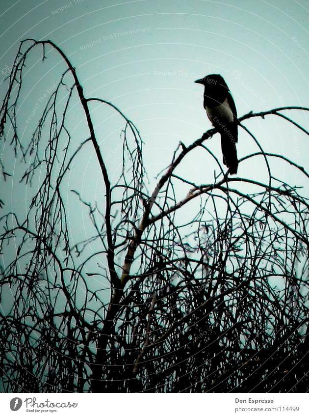 Pica pica Baum Wolken dunkel Vogel Angst Sträucher bedrohlich Ast gruselig Zweig böse mystisch Desaster Friedhof unheimlich Teufel