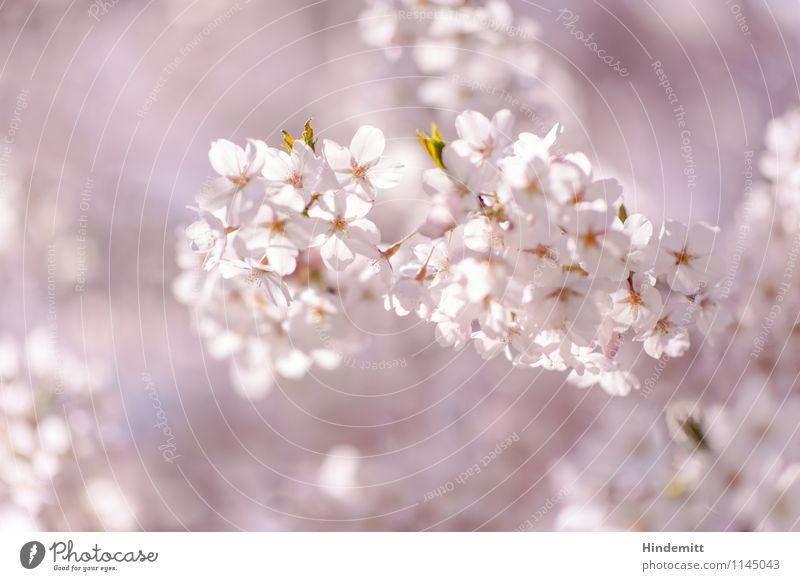 Candy Umwelt Natur Pflanze Frühling Schönes Wetter Baum Blatt Blüte Kirschblüten Blühend hängen Wachstum ästhetisch elegant schön weich grün rosa weiß Glück