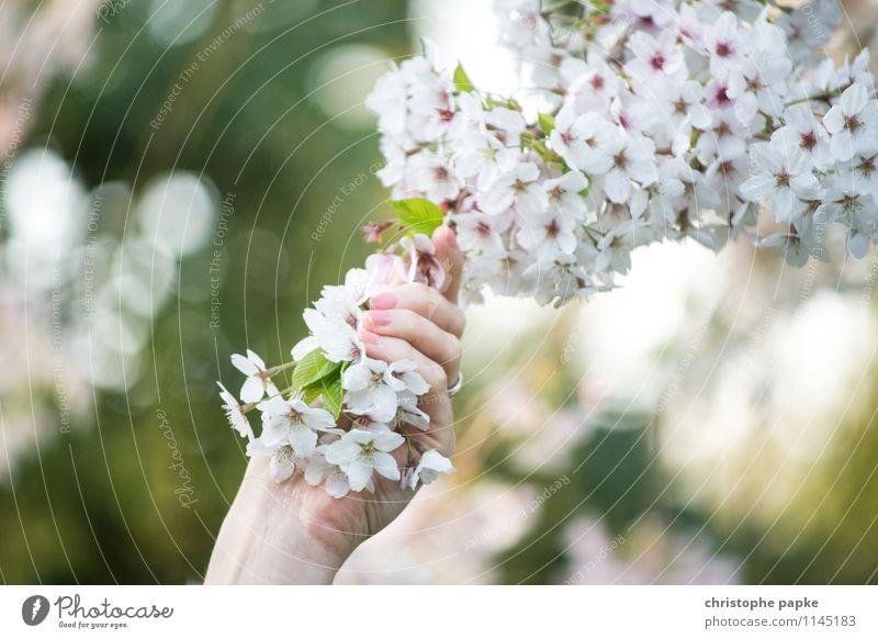 greifbarer Frühling feminin Hand Natur Pflanze Baum Blume Blüte Blühend schön Frühlingsgefühle Kirschblüten Apfelbaum Farbfoto Außenaufnahme Nahaufnahme Tag