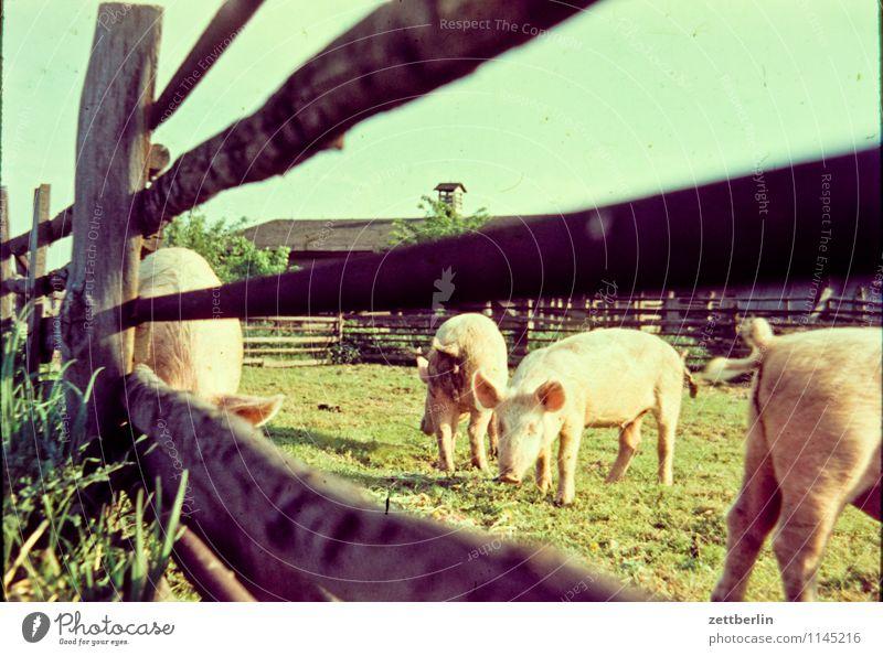 Schweine Hausschwein Haustier Tier allesfresser Freilandhaltung Bioprodukte Biologische Landwirtschaft Weide Pferch Zaun Holzzaun Herde rotte Fleisch Bauernhof