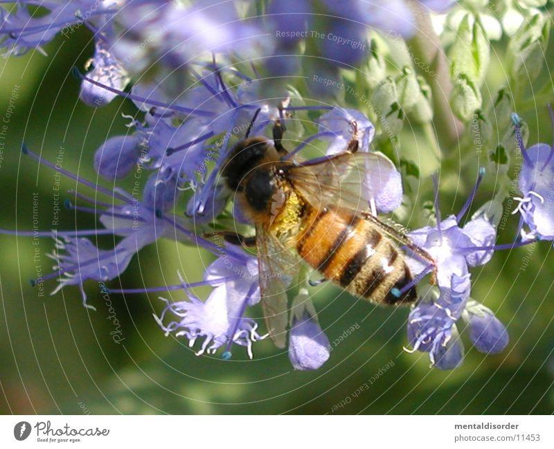 Honigsammler Pflanze schwarz gelb Blüte violett Flügel Biene rechnen