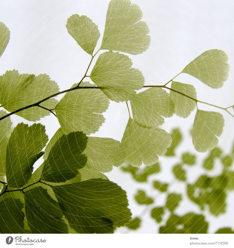 Frauenhaarfarn grün Pflanze Hintergrundbild zart fein Anordnung sensibel filigran Vordergrund