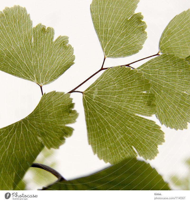 Frauenhaarfarn (Reprise) schön grün Pflanze Blatt Gesundheit Hintergrundbild Wachstum Wandel & Veränderung rein Vergänglichkeit einzigartig zart Anordnung