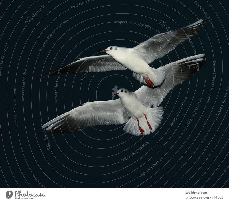 Synchronflug Möwe Lachmöwe Nacht Nachtaufnahme dunkel Vogel Meer Strand Möve Himmel Luftverkehr fliegen Flügel Feder