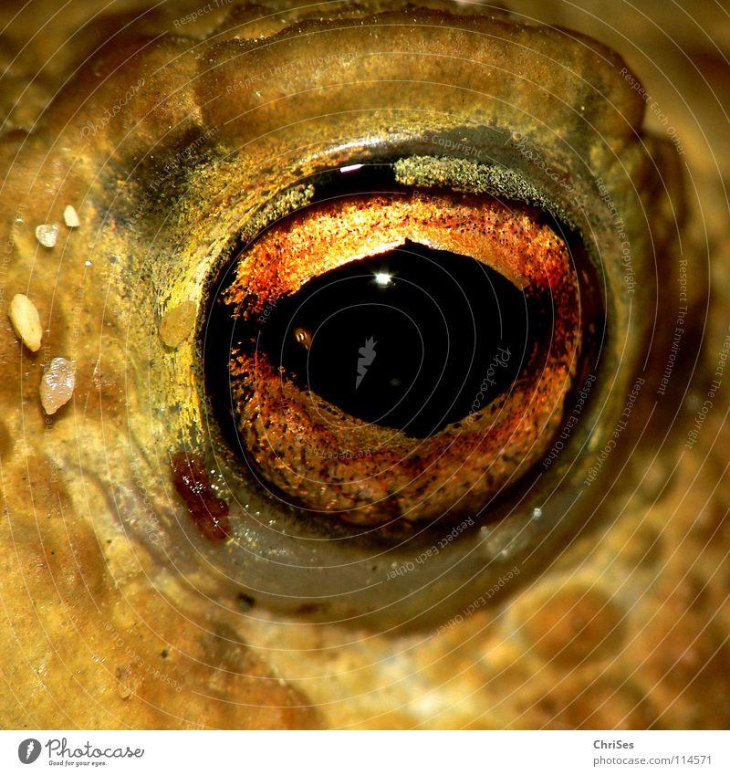 Augen(blick) 2 : Erdkröte (Bufo bufo) Lurch Tier hüpfen springen Wiese Feld Gras Moorfrosch Unke Ekel Quaken braun Blick Allgäu Angst Panik Makroaufnahme