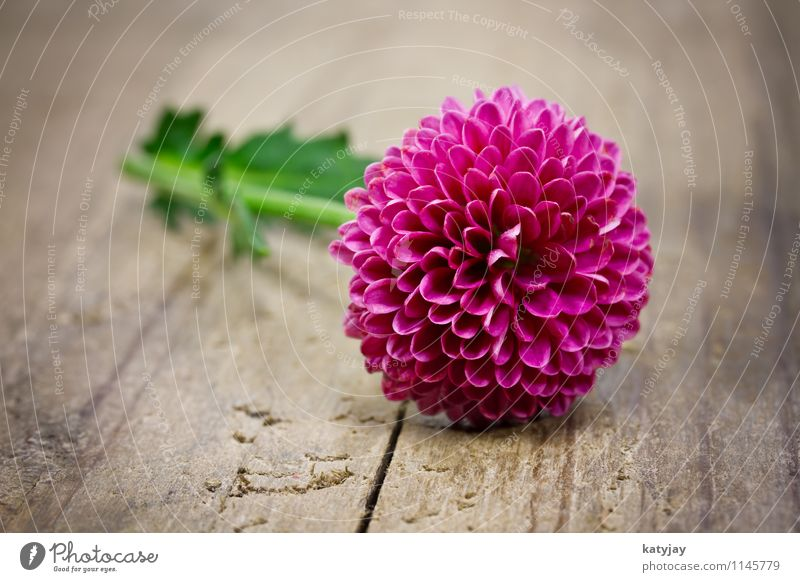 pinke Blume Muttertag Glückwünsche Geschenk Ehefrau Ehre Feste & Feiern Frau Freude rot Postkarte Liebe rosa Gutschein Dekoration & Verzierung schenken Feiertag