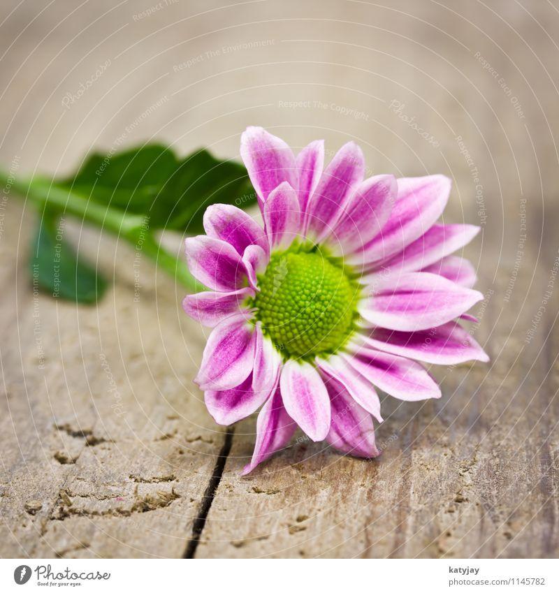 pinke Blume rot Freude Blüte Liebe Holz rosa liegen Dekoration & Verzierung Geburtstag Tisch Blühend Geschenk Mutter Postkarte violett