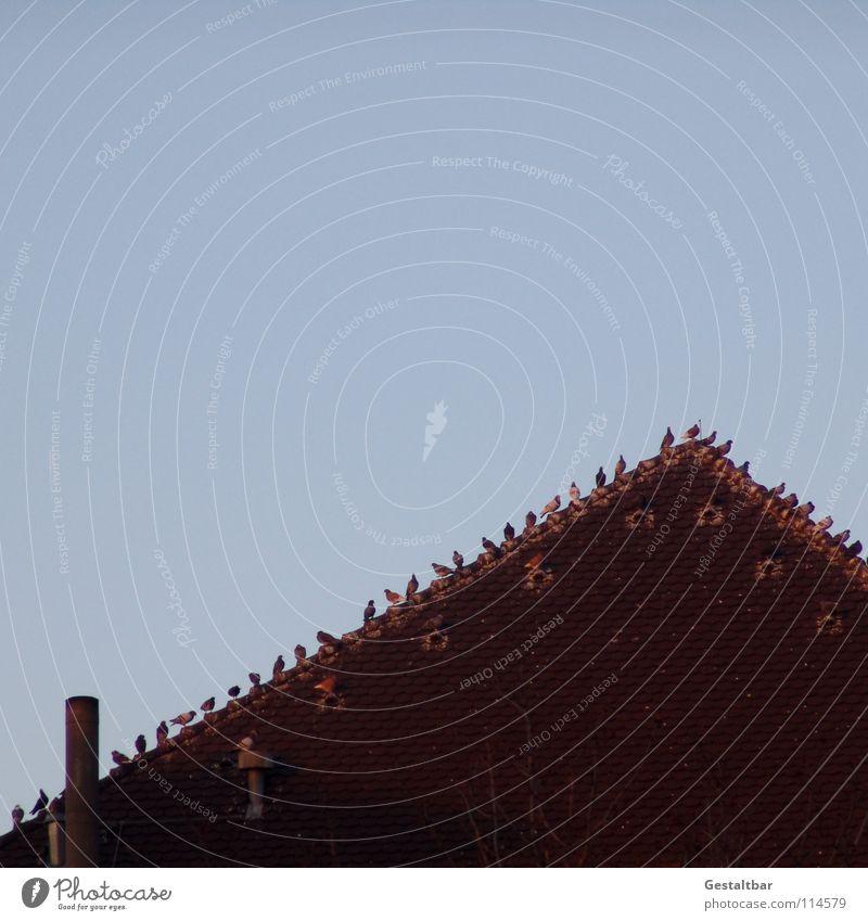 Stadtgespräch am Sonntag Vogel Taube Federvieh Dach luftig nebeneinander Sitzung Dachziegel gestaltbar sitzen warten Blick hoch Niveau Reihe sprechen