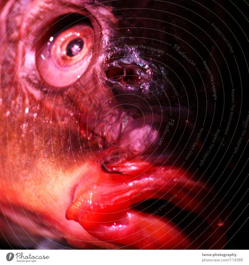 Ausgeblubbt rot Tier Tod Auge glänzend frisch Fisch Tiergesicht Gesichtsausdruck obskur Glätte Maul Anschnitt Pupille Fischauge Karpfen