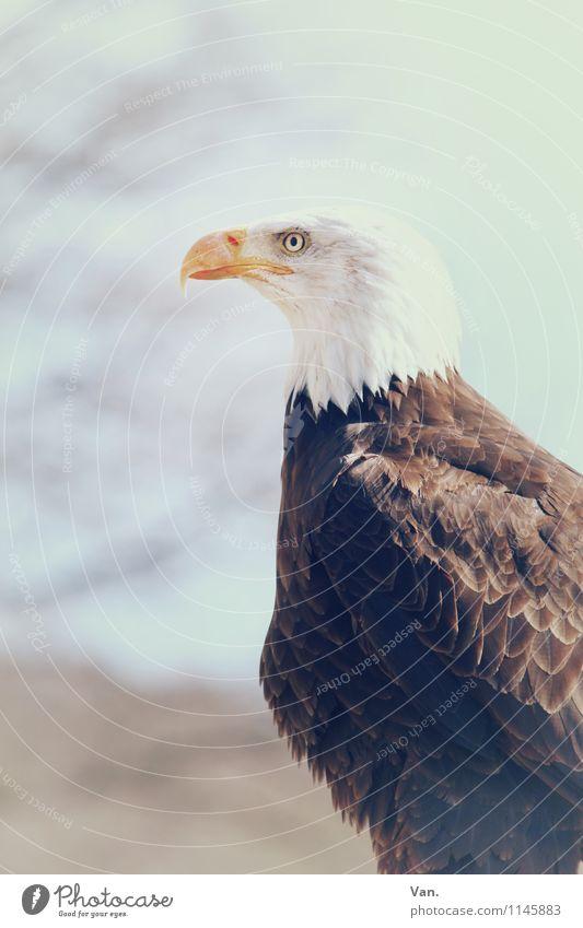 Weißkopf Natur Tier Himmel Zweige u. Äste Vogel Adler 1 beobachten braun weiß Anmut Feder Farbfoto Gedeckte Farben Außenaufnahme Nahaufnahme Menschenleer