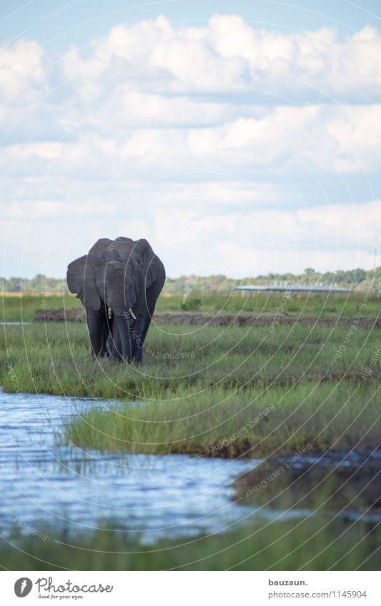 chobe. Natur Ferien & Urlaub & Reisen Sommer Wasser Tier natürlich Gras Freiheit Tourismus Wildtier Tierpaar Ausflug nass beobachten Schönes Wetter Abenteuer