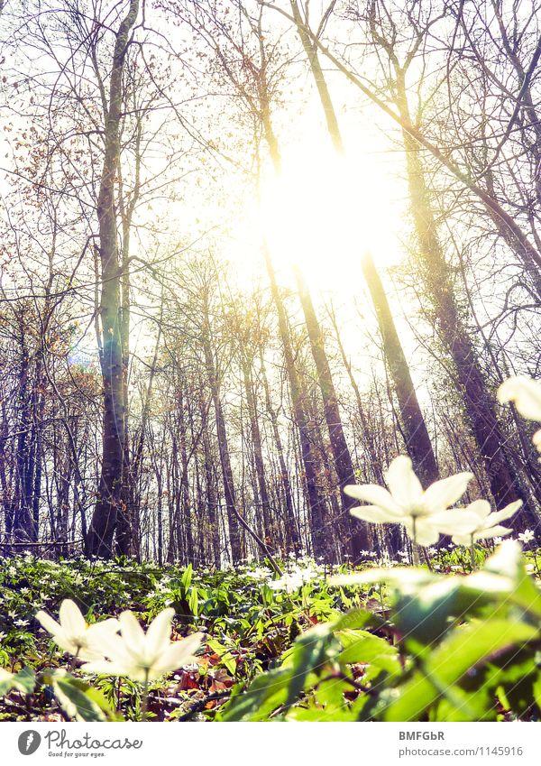 Frühlingserwachen im Wald Umwelt Natur Landschaft Pflanze Sonnenaufgang Sonnenuntergang Sonnenlicht Schönes Wetter Baum Blume Gras Blatt Blüte Grünpflanze