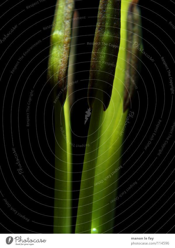 Funkie Natur Blume grün Pflanze schwarz Leben Blüte Linie Beleuchtung zart außergewöhnlich obskur skurril Staub Pollen Lilien